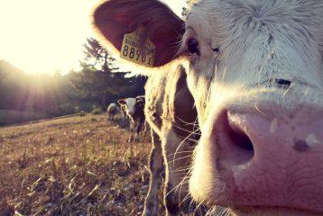 Plus de 48 000 producteurs laitiers européens ont réduit leur production grâce au programme [...]