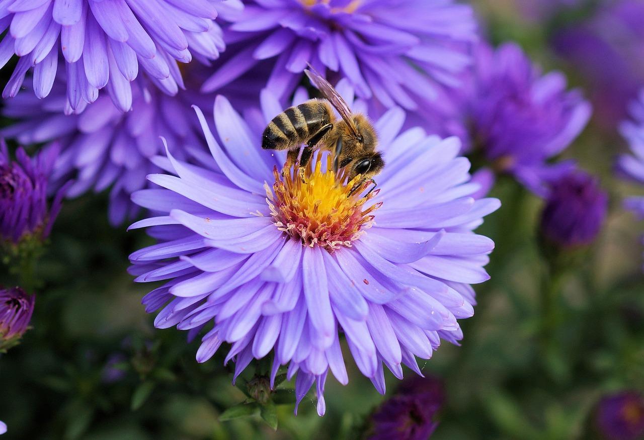 Comment stopper le déclin des populations d'abeilles ?