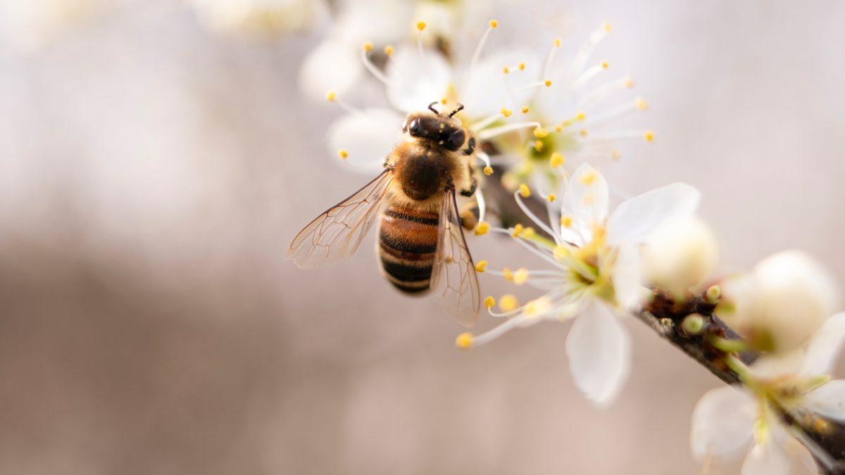Insectes pollinisateurs: propositions de la Commission pour enrayer leur déclin